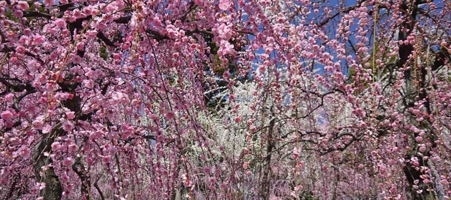 京都のしだれ梅を楽しむなら城南宮